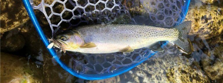 idaho cutthroat trout